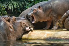 Hippopotamuses stock photography