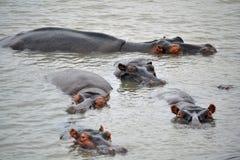 Hippopotamuses Royalty Free Stock Image