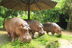 Hippopotamuses Stock Photos