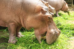 Hippopotamuses Royalty Free Stock Photo