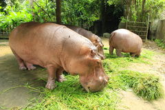 Hippopotamuses Royalty Free Stock Photos