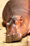 Hippopotamuses. Sleeping on the floor royalty free stock photo