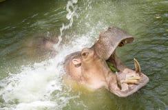 Hippopotamuses affichant la mâchoire et les dents énormes Photo libre de droits