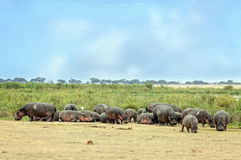 Hippopotamuses bask  on the sun in front of swamp Royalty Free Stock Photos