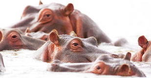 Hippopotamuses bathe. Some hippopotamuses swim in the lake Nakuru stock image