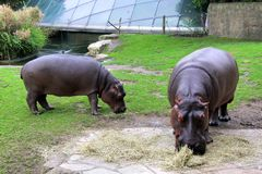 Hippopotamuses stock photography