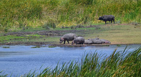 Hippopotamuses with Buffalo Stock Photos