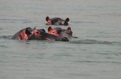 Hippopotamuses dans le fleuve Photographie stock