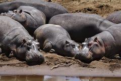 Hippopotamuses exposant au soleil, fleuve de Mara Images stock