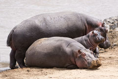 Hippopotamuses family Stock Photography