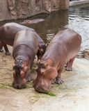 Hippopotamuses feed on various type of grasses. Hippopotamuses feed on various type of grasses including short, creeping grass and small green shoots and reeds Stock Photo
