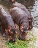 Hippopotamuses feed on various type of grasses. Hippopotamuses feed on various type of grasses including short, creeping grass and small green shoots and reeds Royalty Free Stock Photos