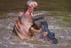Hippopotamuses fighting in a river, Serengeti Stock Photography