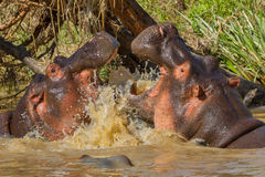 Hippopotamuses Fighting. Two large male Hippopotamuses, fighting for supremacy over the `bloat` - herd of Hippos.nThey both have mouths wide open, showing their Royalty Free Stock Images
