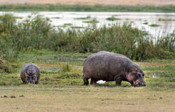 Hippopotamuses  grazing on the edge of swamp Stock Image
