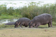 Hippopotamuses grazing on grassland Stock Photography