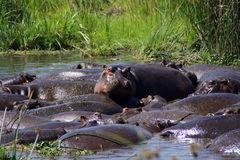 Hippopotamuses. Herd of hippos in the lake Royalty Free Stock Photo