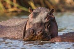 Hippopotamuses (Hippopotamus amphibius) swimming in water, Africa. Close up.  royalty free stock image