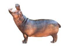 Hippopotamuses isolated on white. Background royalty free stock image