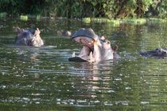 Hippopotamuses in the lake. Hippopotamuses playing in the lake. Picture taken in Uganda, Lake Mburo National park, during boat trip. Camera stock photo