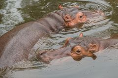 Hippopotamuses or river horse love water. Royalty Free Stock Images