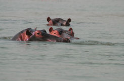 Hippopotamuses in river Stock Photography