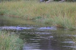 HIPPOPOTAMUSES IN A RIVER WITH LUSH GREEN GRASS ON THE SIDES. View of barely visible hippopotamuses in a river with long lush grass on the side royalty free stock photo