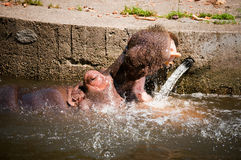 Hippopotamuses Showing Huge Stock Image