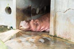Hippopotamuses sleeping at the Dusit Zoo, Thailand.  stock photography