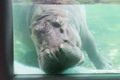 Hippopotamuses sleeping underwater at the Dusit Zoo, Thailand.  stock photo
