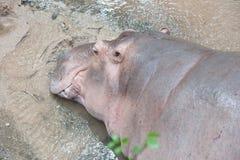 Hippopotamuses. Sleeping in the weather stock photos