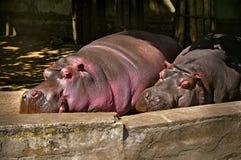 Hippopotamuses sleeping zoo. Two big hippopotamuses sleeping zoo stock photos