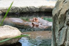 Hippopotamuses swimming in a pool. Two hippos swimming in a pool enjoying the cool water among the rocks and foliage stock photos