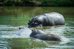 Hippopotamuses in the water. royalty free stock images