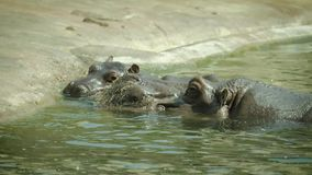 2 hippopotamuses in water 4K stock video