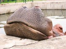 Hippopotamuskopf Stockfoto