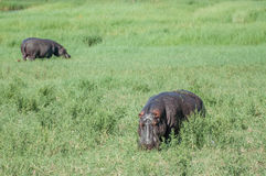 Hippopotimi in Green Field stock image