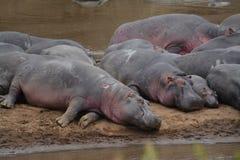 Hippopotomus στοκ εικόνα