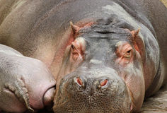 Hippopotomus Fotografia Stock