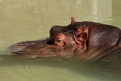 Hippopotomus Zdjęcia Royalty Free
