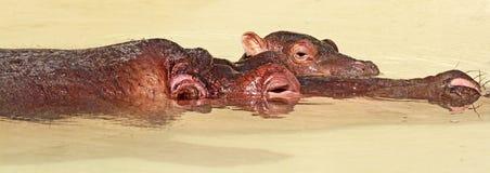 Hippopotomus Stock Image