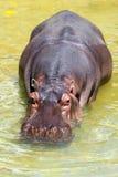 Hippopotomus Amphibius. Stock Images