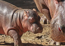 Hippopotomus Royalty Free Stock Image