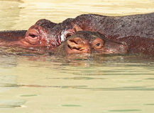 Hippopotomus Stock Photos