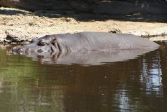 Hippopotomus stockfoto