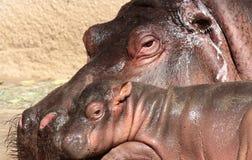 Hippopotomus Royalty Free Stock Photos