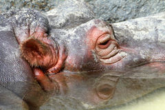 Hippopotumus Royalty Free Stock Image