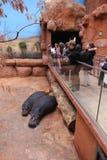 Hippos ζωολογικών κήπων Στοκ φωτογραφία με δικαίωμα ελεύθερης χρήσης