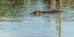 Hippos στο ύδωρ Στοκ Εικόνες