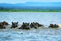 Hippos. Family of hippos on lake Naivasha. Africa. Kenya stock photo